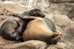 海狮拥抱 免版税库存图片