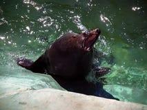 海狮摆在 免版税库存图片