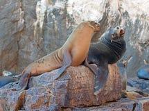"""海狮殖民地晃动在Los卡约埃尔考斯在土地在Cabo圣卢卡斯结束的加利福尼亚海狮夫妇战斗的""""the狼Lair† 免版税库存图片"""