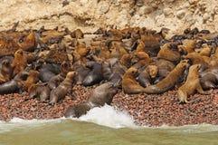 海狮殖民地ona遥控海岛 免版税库存照片