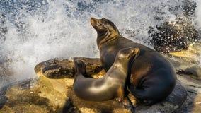 海狮母亲,当两只小狗,基于峭壁 免版税图库摄影