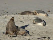 海狮海滩和太阳 库存照片