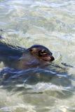海狮游泳在热带海洋盐水湖 免版税库存照片