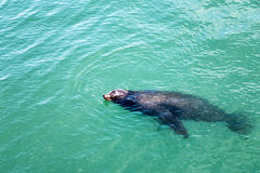 海狮游泳 免版税图库摄影