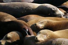 海狮的储蓄图象在码头39,旧金山,美国的 免版税库存照片
