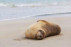 海狮睡觉在海滩的, Otago新西兰 免版税库存图片