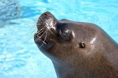 海狮纵向  免版税图库摄影