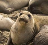 海狮逗人喜爱的画象-在海滩加利福尼亚高速公路的1美国太平洋附近 免版税库存图片