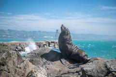 海狮,在狂放的封印 免版税图库摄影
