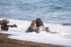 海狮,当亲吻在巴塔哥尼亚时的海滩 免版税库存照片