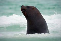 海狮,海驴属flavescens,在水中 在海浪的海狮 与海狮的野生生物场面 海狮细节画象  图库摄影