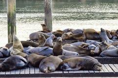 海狮,码头39,旧金山,加利福尼亚 免版税图库摄影