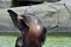 海狮致敬 库存照片