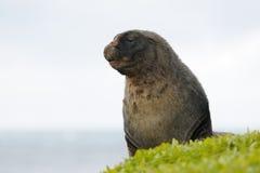 海狮 免版税库存照片