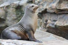 海狮 库存图片