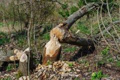 海狸击倒的树 库存照片