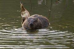 海狸吃叶子和枝杈 免版税库存图片