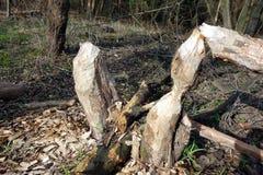 海狸咬住的树 免版税库存照片