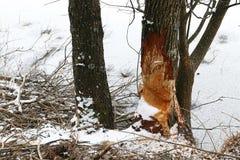 海狸咬的树在一个冻湖在冬天 免版税库存照片