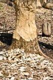 海狸咬的树 免版税图库摄影