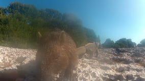 海狸嗅照相机 股票视频