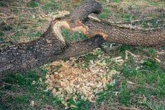海狸嚼了树的树干 免版税库存照片