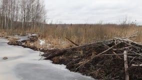 海狸在冬天建造了水坝,河的被提高的水平面 股票录像