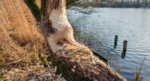 海狸在河岸咬了一个半树干 免版税库存图片