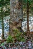 海狸损坏的亚斯本树 库存图片