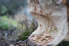 海狸损坏的树;咬由海狸;损坏的区域 库存图片