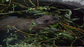 海狸收集分支 影视素材