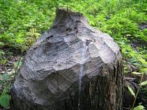 海狸树桩 库存照片