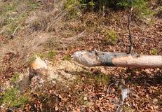 海狸树 库存图片