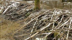 海狸水坝在森林,冬天 影视素材