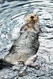 海狸游泳 库存照片