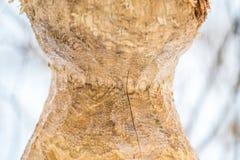 海狸被咬住的树特写镜头 免版税库存照片