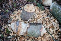 海狸被咬住的结构树 免版税库存图片