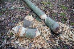 海狸被咬住的结构树 库存图片