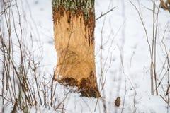 海狸被咬住的结构树 图库摄影