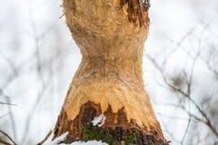 海狸被咬住的结构树 免版税库存照片