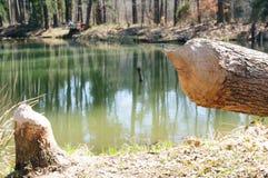 海狸铸工纤维砍的树 免版税库存照片