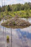 海狸铸工canadensis小屋在taiga沼泽地 免版税库存图片