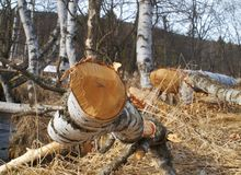海狸击倒的桦树在小河附近 库存图片