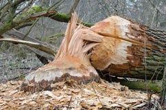 海狸破坏的树 免版税库存照片