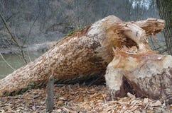 海狸破坏的树 图库摄影