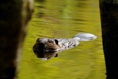 海狸 免版税库存图片