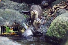 海狸 图库摄影