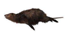 海狸 免版税库存照片