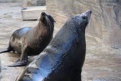 2海狼 库存图片