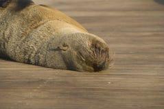 2海狼 库存照片